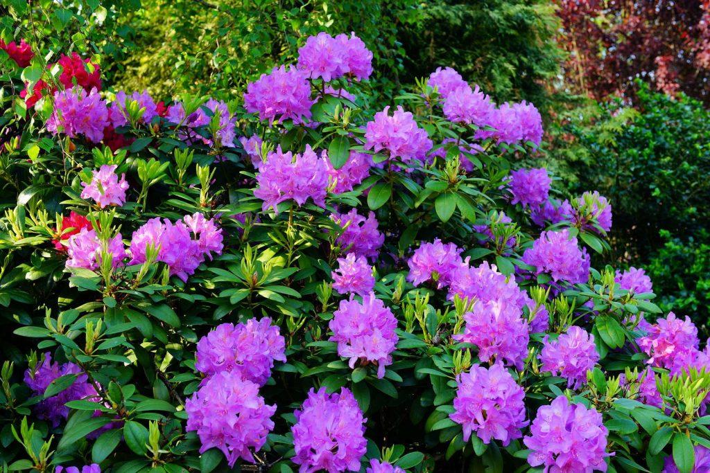Rododendron snoeien