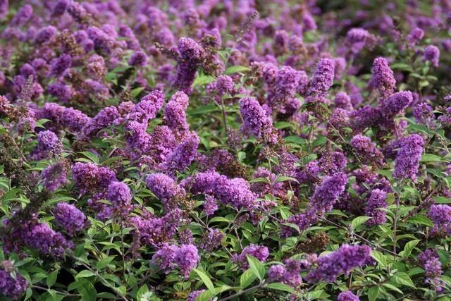 Vlinderstruik in bloei